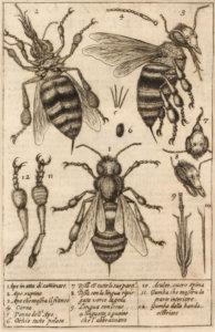 Fig. 2 Stelluti 1630